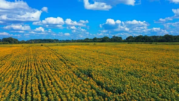 Thumbnail for Aerial View Landscape Field Of Sunflowers