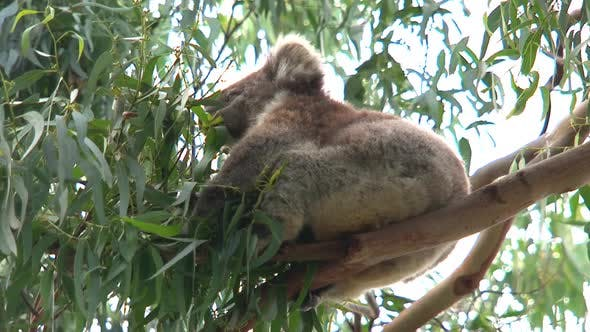 Thumbnail for Koala in a tree around the great ocean road