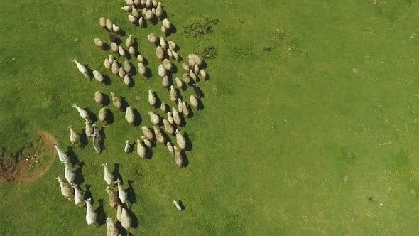 Cover Image for Flock of Sheep and Goats Running on Pasture in Mountains in Kutaisi, Georgia