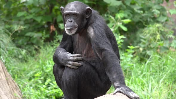 Chimpanzee Adult Alone Grooming Cleaning Summer
