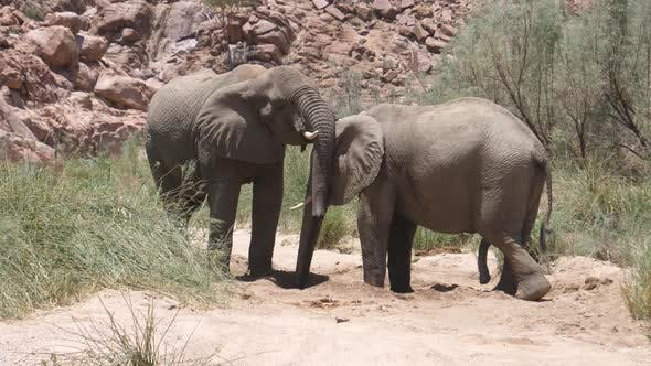 Two elephants drinking from a small waterhole at Hoanib Riverbed in Namibia