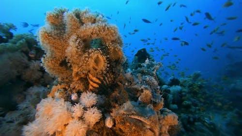 Red Sea Scorpion-Fish