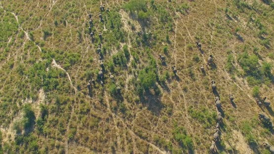 Aerial drone view of a herd of elephants wild animals in a safari in Africa plains.