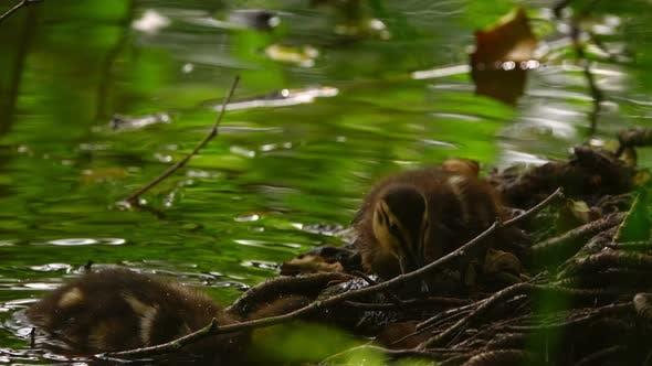 Thumbnail for Little Baby Ducks In Lake