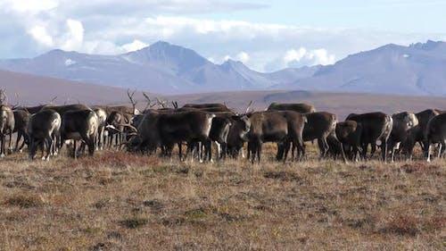 Caribou Herd Many Standing in Autumn in Alaska
