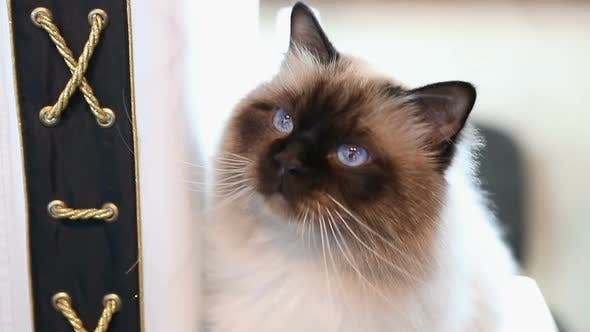 Thumbnail for Beautiful Blue-Eyed Birman Cat Playing With Toy, Relaxed Pet Sitting on Table