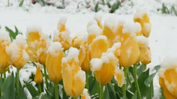 Yellow Flowers Freeze During a Snowfall