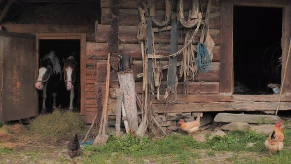 Thumbnail for Rural scene. Old wooden stable with two horses on front, back yard. Agriculture. Horses in stable.