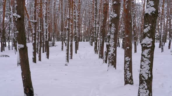 Thumbnail for Flying Through the Winter Pine Forest. Snowy Path in a Wild Winter Forest Between Pines