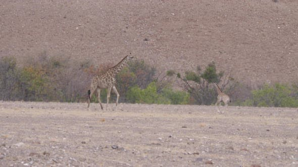 Baby giraffe running around her mom on a dry savanna