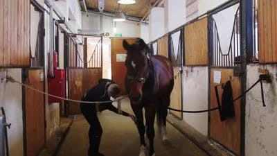 Equestrian  Young Woman Brushing a Brown Horse in the Stall