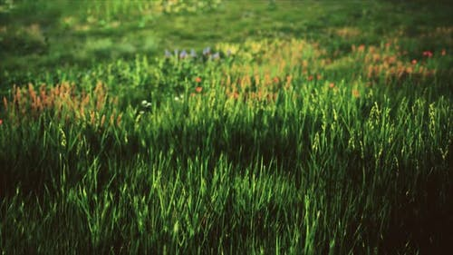 Field with Green Grass and Wild Flowers at Sunset