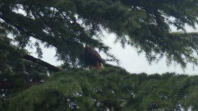 Harris Hawk Branch Fly