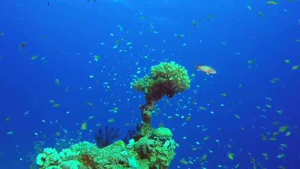 Cover Image for Blue-Green Chromis Coral Reef