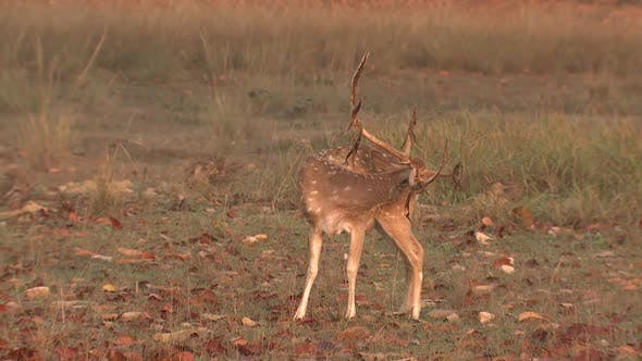 Spotted Deer Buck Male Lone Grooming Cleaning Spring Dawn Morning Cheetal Chital Axis Antlers Velvet