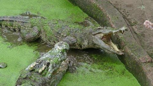 Fütterung des Krokodil