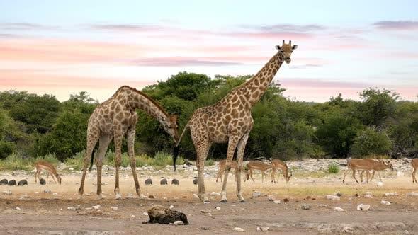 Giraffe on Etosha with stripped hyena, Namibia safari wildlife