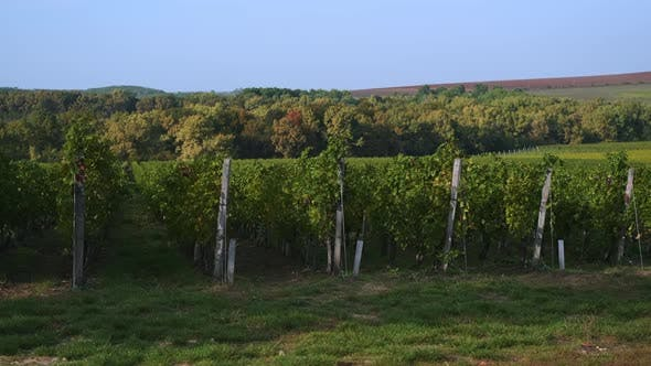 Green Scene with Vineyard and Woods