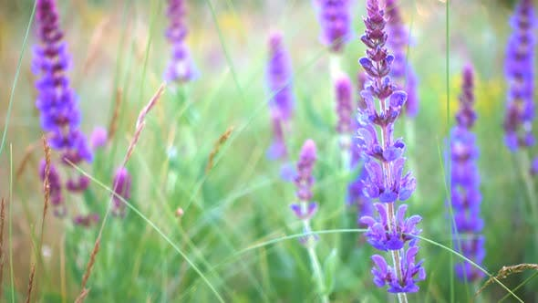 Thumbnail for Salvia Grass Close Up At The Evening Time 4