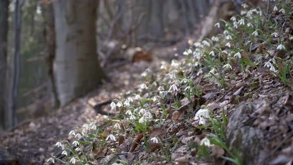 Thumbnail for Snowdrops in forest