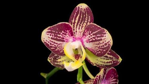 Blooming Purple Tulip Orchid Phalaenopsis Flower