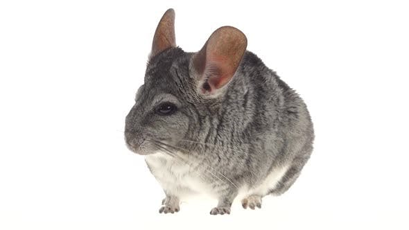 Thumbnail for Gray Chinchilla Eats Up Food and Runs Away From Frame