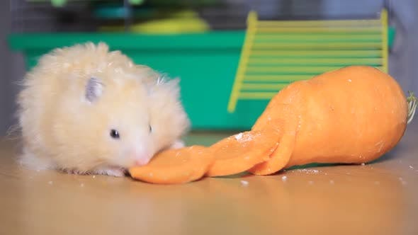 Cute hamster eats (Syrian hamster) on the table.