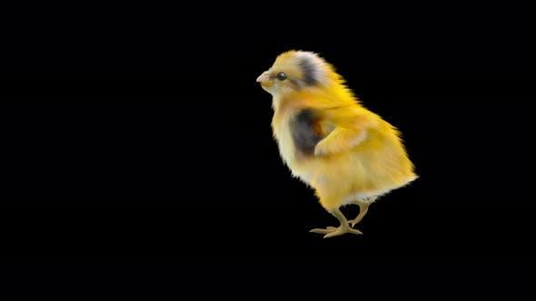 08 Baby Chicks Dancing 4K