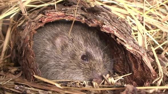 Thumbnail for Prairie Vole Adult Lone Resting in Autumn in South Dakota