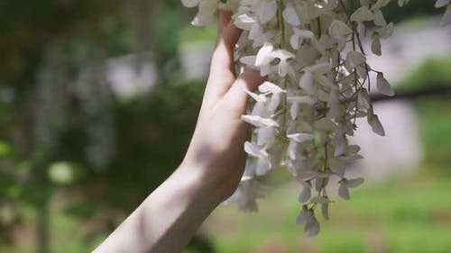 Female Hand Touching Branches of a Blossoming Tree