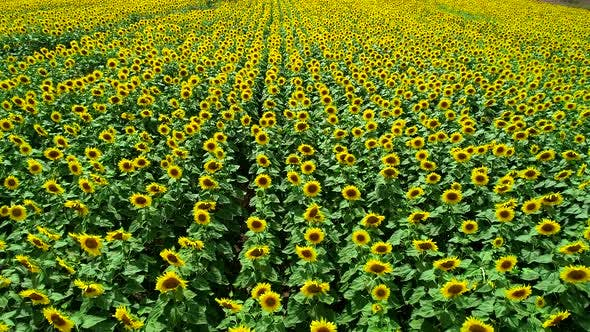 Thumbnail for Agriculture Sunflowers