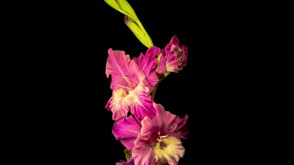 Thumbnail for Time Lapse of Opening Purple Gladiolus Flower