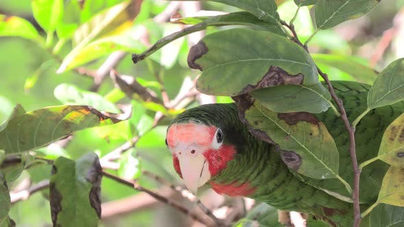 Cayman Islands Parrot Adult Lone Looking Around Endangered Endemic