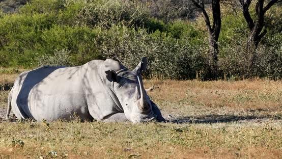 Thumbnail for white rhinoceros in Botswana, Africa safari wildlife