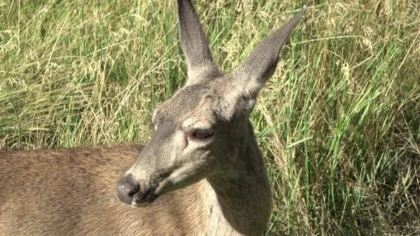 Thumbnail for Deer