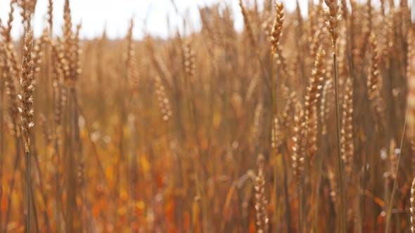 Thumbnail for Nature Scene Gold Wheat Stalks on the Farmland