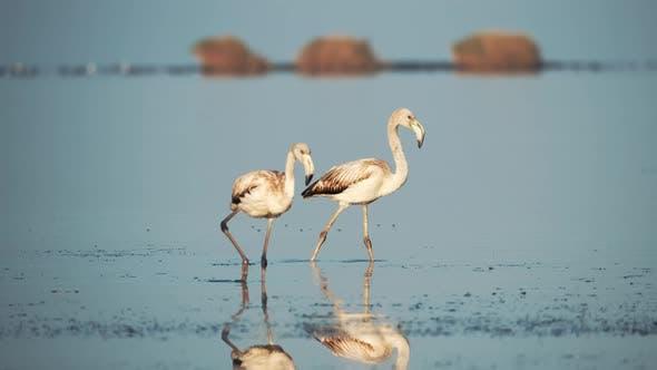 Flamingos in Nature