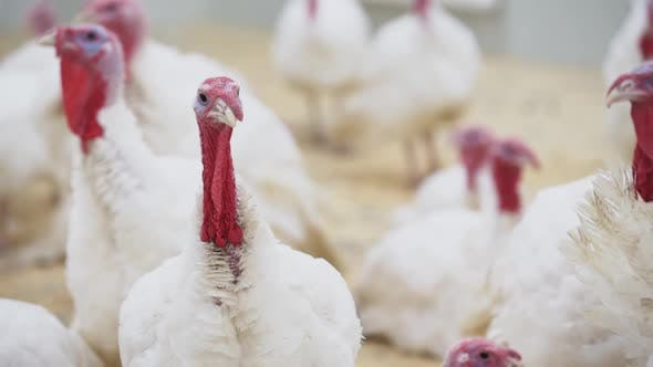 Turkey Looks at Other Turkeys in Confusion Around Room at Poultry Farm