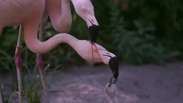 Thumbnail for Two adult flamingos trying to feed the same chick with red crop milk