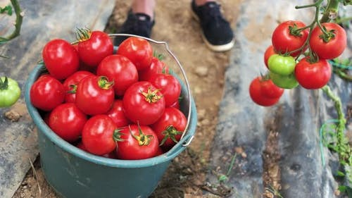 Harvesting Tomatoes in Greenhouse
