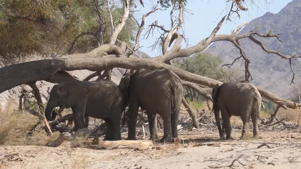 Thumbnail for Herd of elephants grazing around a big tree trunk