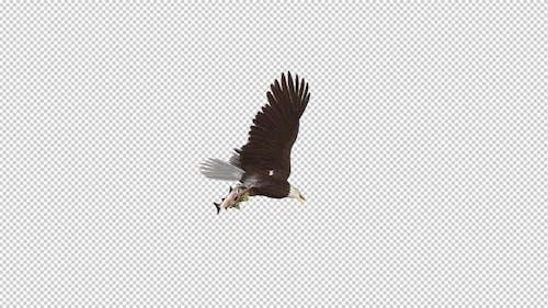 Bald Eagle with Salmon Fish - 4K Flying Loop - Down Angle