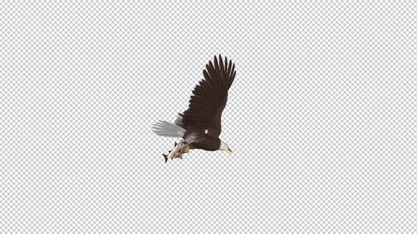 Thumbnail for Bald Eagle with Salmon Fish - 4K Flying Loop - Down Angle