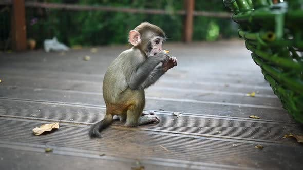 Rhesus Macaque Funny Cute Baby Child Eating and Playing in Tropical Nature Park