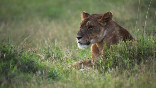 Lioness resting on a grassland in the Kenyan savannah, Africa