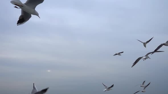 Seagulls Flying In The Gray Clean Sky. Close Up Flock Of Birds Flies Slow Motion. 6