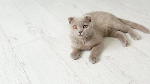 Scottish Fold Purple Kitten Rests On The Floor