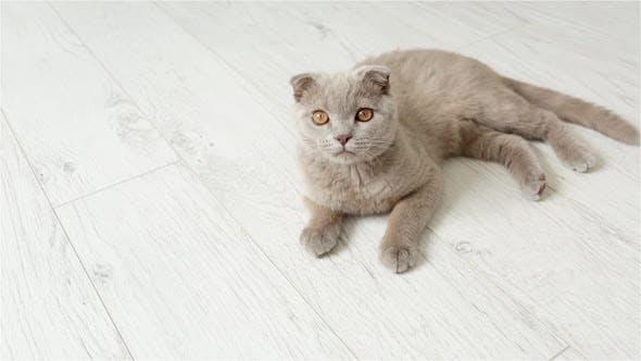 Thumbnail for Scottish Fold Purple Kitten Rests On The Floor