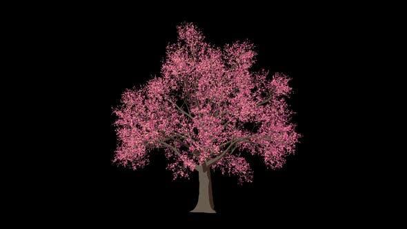 Thumbnail for Cartoon Prunus Tree Grow