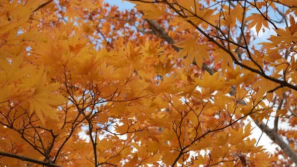 Cover Image for Maple Autumn
